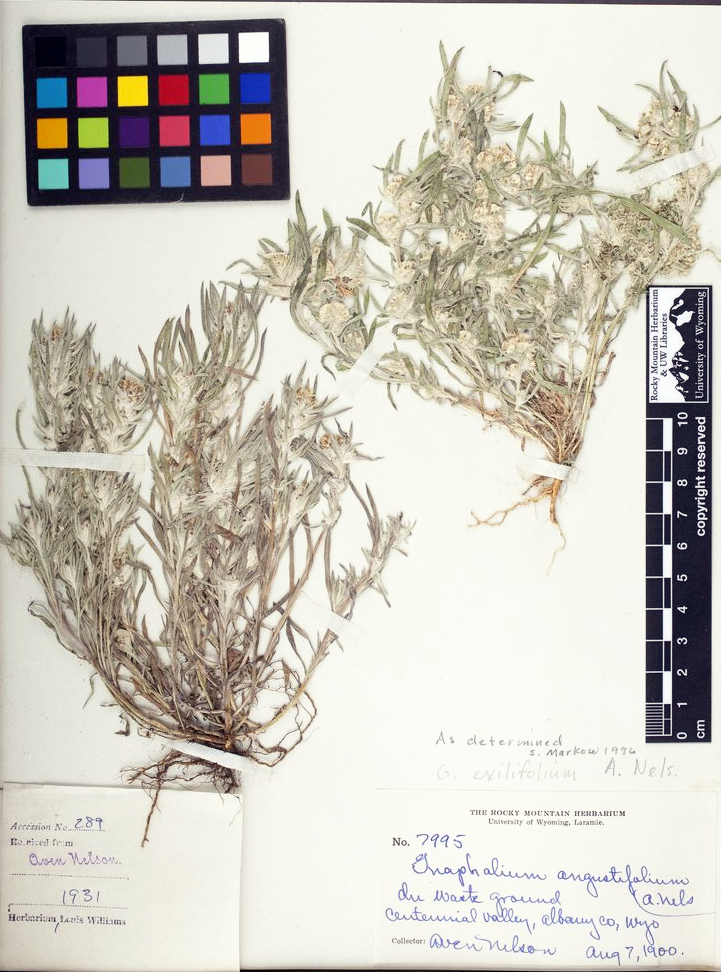 An of a specimen of Slender Cudweed, Gnaphalium exilifolium, collected by Aven Nelson.